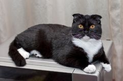 Scottish fold cat on the microwave Royalty Free Stock Image