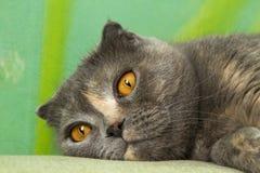 Scottish fold cat muzzle Stock Photos