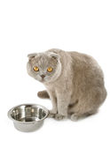 Scottish fold cat near bowl Royalty Free Stock Image