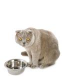 Scottish fold cat near bowl. Isolated on white background Royalty Free Stock Image