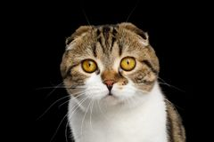 Free Scottish Fold Cat On Black Background Royalty Free Stock Images - 119676099
