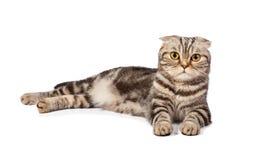 Scottish-fold Cat On White Royalty Free Stock Photos