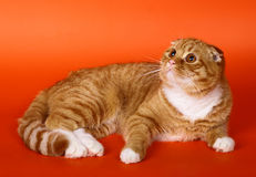 Scottish fold cat on an orange background. Royalty Free Stock Photos