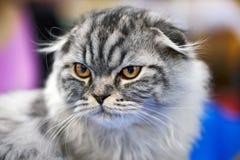 Scottish fold cat portrait Royalty Free Stock Images