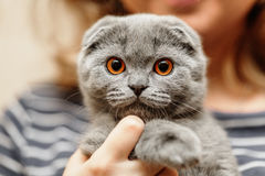 Scottish fold cat. Portrait of a scottish fold breed blue cat Royalty Free Stock Photo