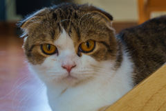Scottish fold cat portrait. Calico Scottish Fold cat looking at camera Stock Images