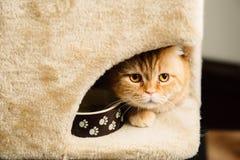 Scottish fold cat. Portrait close-up  detail Royalty Free Stock Photography