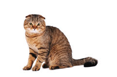 Scottish fold cat portrait Stock Image