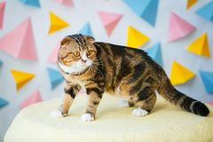 Scottish Fold cat is on the pouf royalty free stock photo