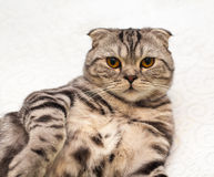Scottish Fold cat Stock Photo