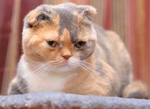 The Scottish Fold cat rests in its place.  Royalty Free Stock Photo