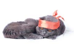 Scottish fold cat samurai Royalty Free Stock Image