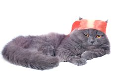 Scottish fold cat samurai Stock Image