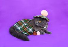 Scottish fold cat Scottish dress. Gray Scottish fold cat scottish costume for men, green plaid, beret with pom-pom skirt with a small purse on her belt, lay on a Royalty Free Stock Photo