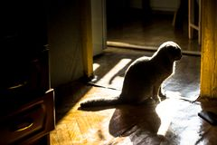Scottish fold cat. silhouette. Photos of a cat lying on the floor and posing on the camera Royalty Free Stock Photos
