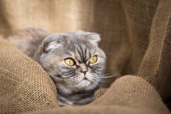 Scottish Fold cat sits in the folds of burlap. stock images