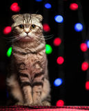 Scottish fold cat sits on a table in Christmas and New Year. On a black background with multicolored unsharp garlands royalty free stock photos
