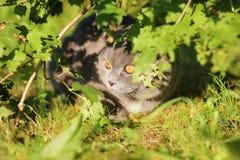 scottish fold cat sitting in ambush Royalty Free Stock Photo