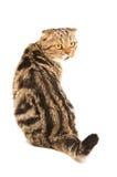 Scottish Fold cat sitting back Royalty Free Stock Image
