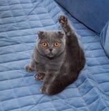 Scottish Fold cat sitting on blue Royalty Free Stock Image