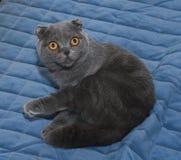 Scottish Fold cat sitting on blue Stock Image