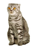 Scottish fold cat sitting isolated Royalty Free Stock Photo
