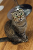 Scottish Fold cat sitting and looking Stock Photography