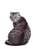 Scottish fold cat sitting, looking at camera Royalty Free Stock Photos