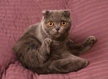 Scottish Fold cat sitting on pink Stock Photo