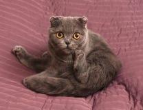 Scottish Fold cat sitting on pink Royalty Free Stock Photos