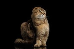 Scottish fold Cat Sitting, Scratching behind his ear, Black  Royalty Free Stock Images