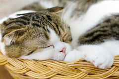 Scottish fold cat sleep Stock Photo