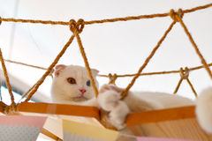 Scottish Fold cat sleep Stock Photography