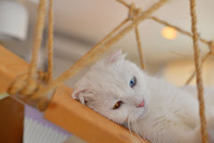 Scottish Fold cat sleep Royalty Free Stock Image