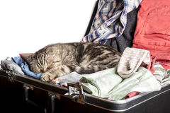 Scottish Fold cat sleeping in a suitcase packed with things for travel Stock Photos