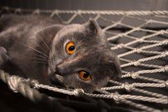 Scottish Fold Cat Small Ears Orange Eyes Stock Image