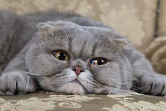 Scottish Fold cat on a sofa. Cute Scottish Fold cat is lying on a couch and looking somewhere ahead royalty free stock image