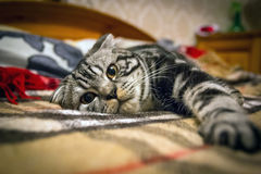 Scottish Fold cat. Striped gray Scottish Fold cat lying on the bed in the plaid Stock Photo