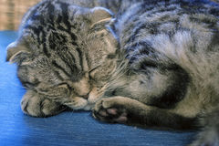 Scottish Fold cat sweetly sleeps, his head resting on the foot Stock Photos