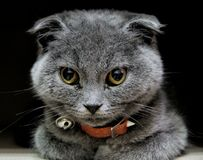 Scottish fold cat. Sweety gray royalty free stock photo