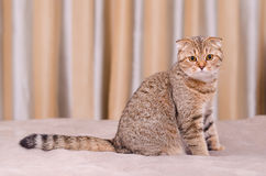 Scottish Fold cat tabby. Scottish Fold cat tabby on a black background.Looking into the camera Stock Photography