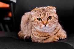 Scottish Fold cat tabby on a black background. Looking into the camera Royalty Free Stock Photos