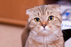 Scottish Fold cat tabby. Looking into the camera Royalty Free Stock Photography
