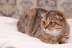 Scottish Fold cat tabby. Looking to the side Stock Photos