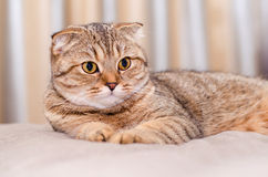 Scottish Fold cat tabby. Looking to the side Royalty Free Stock Photography