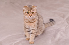 Scottish Fold cat tabby. Looking to the side Royalty Free Stock Image