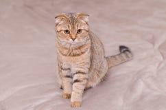 Scottish Fold cat tabby. Royalty Free Stock Image