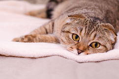 Scottish Fold cat tabby. Sleepy cat lying on the bed Royalty Free Stock Image