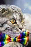 Scottish fold cat in a tie butterfly rainbow colors. Gaze of the cat stock images