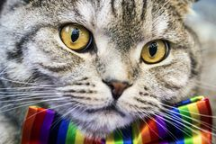 Scottish fold cat in a tie butterfly rainbow colors. Gaze of the cat royalty free stock photos